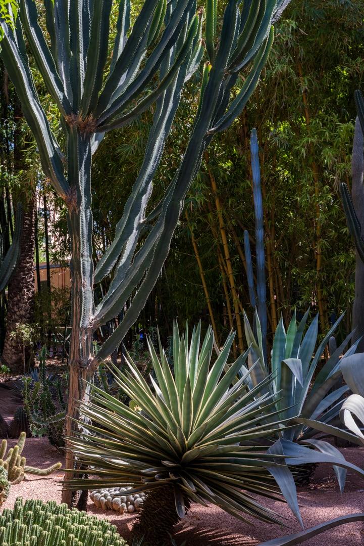 photo de cactus au jardin majorelle à Marrakech Maroc 3
