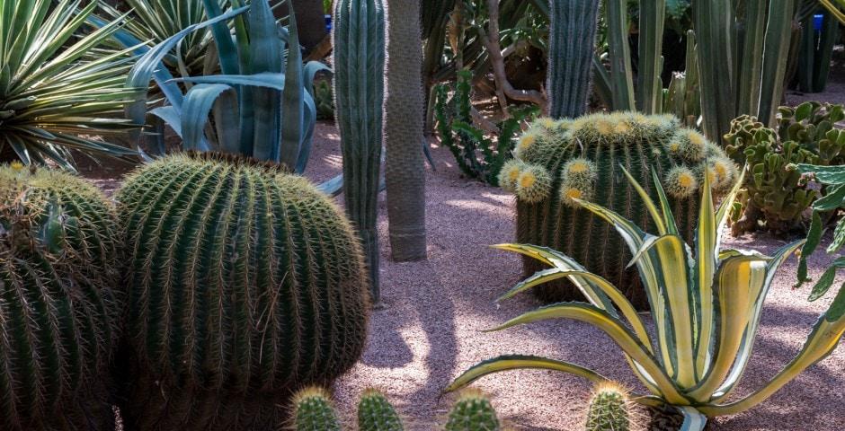 photo de cactus au jardin majorelle à Marrakech Maroc 9