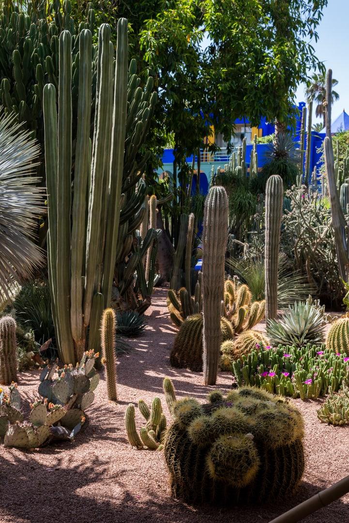 photo de cactus au jardin majorelle à Marrakech Maroc 15