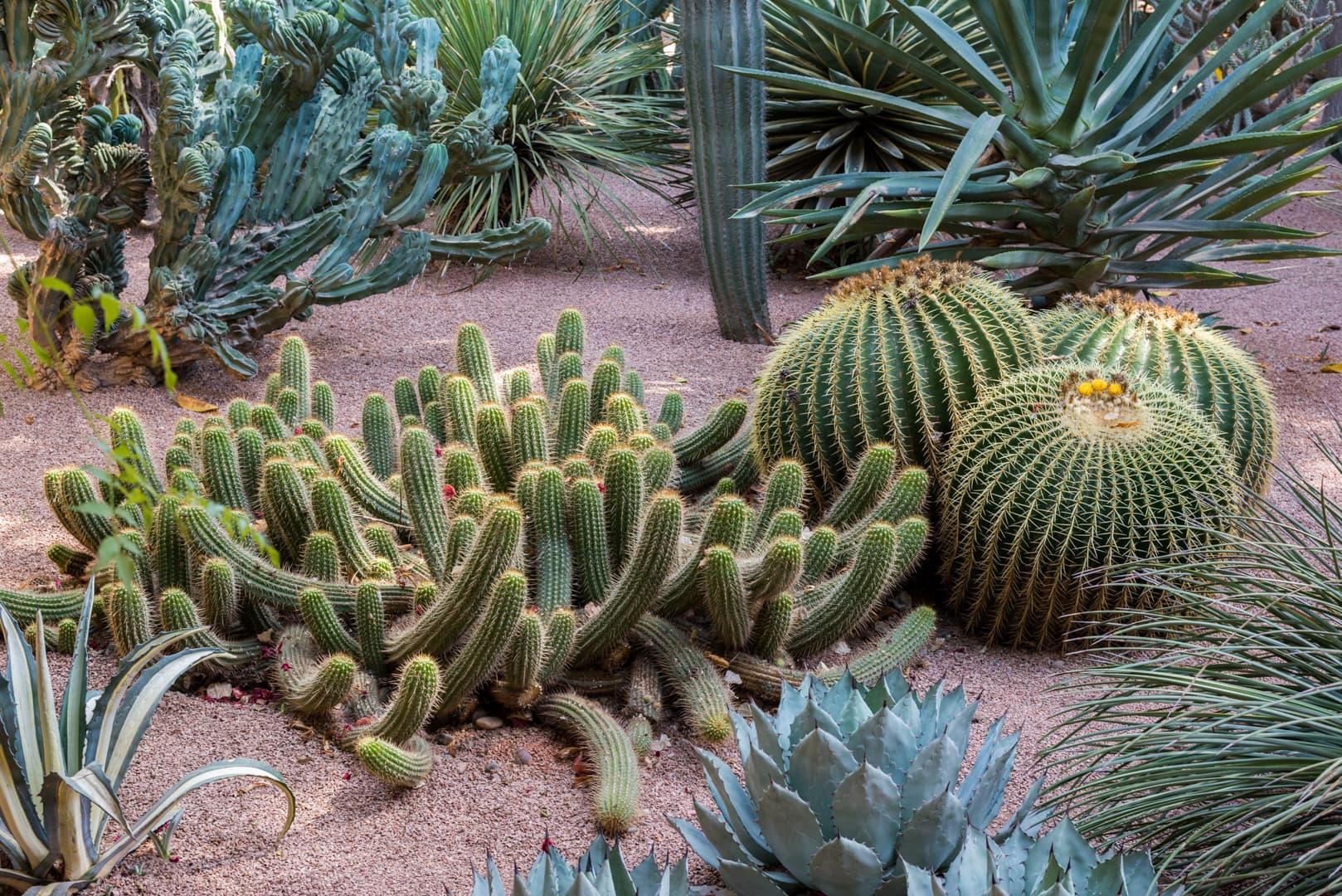 photo de cactus au jardin majorelle à Marrakech Maroc 6